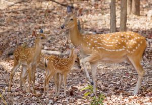 female and fawn deer